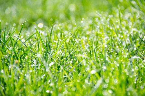 green grass with dew